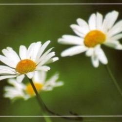 Postkarte-Ansichtskarte-Blumen-G11